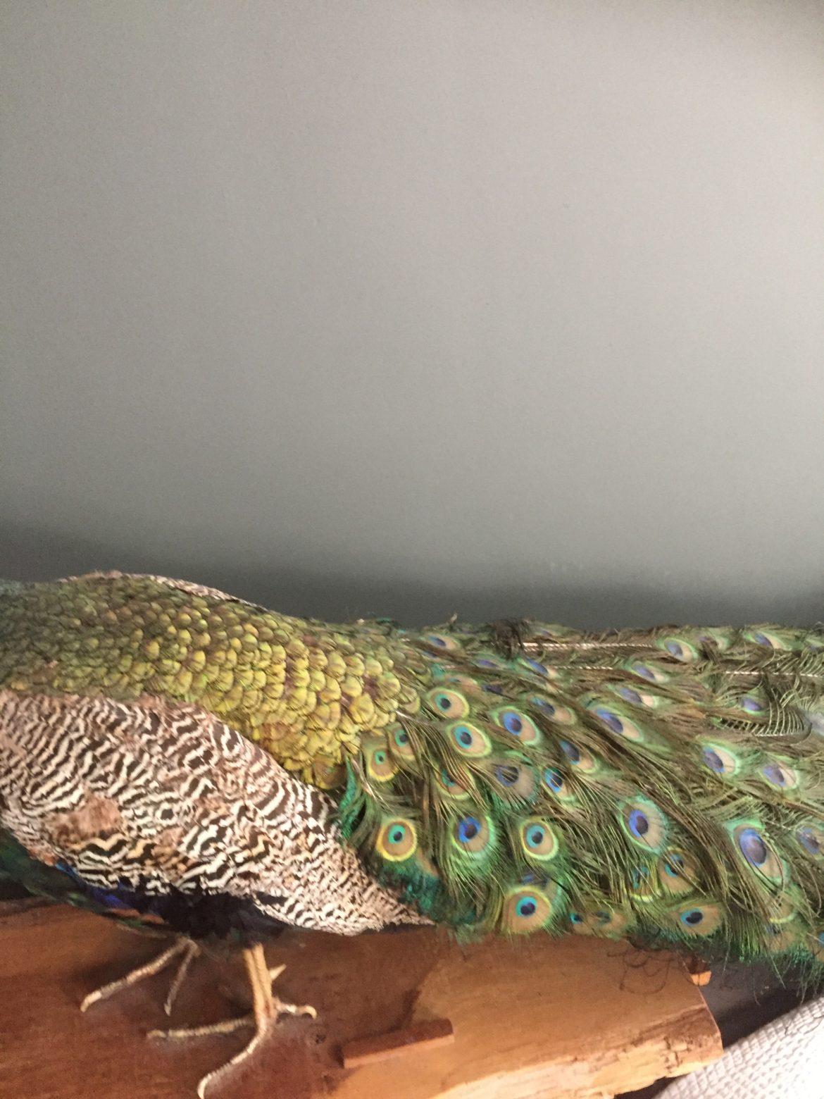 peacock 9