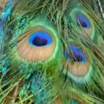shop – peacock